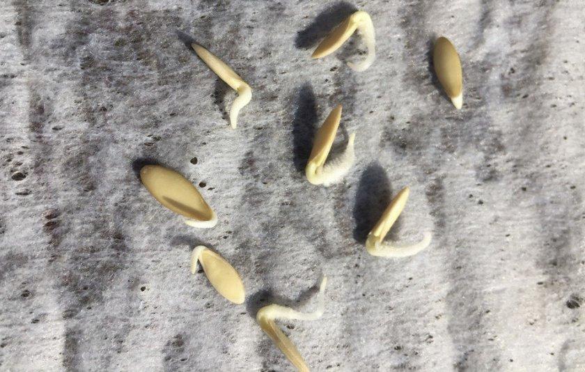 надо ли проращивать семена виолы